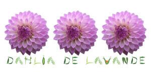 Dahlia De Lavande
