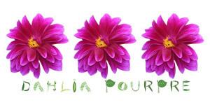 Dahlia Pourpre